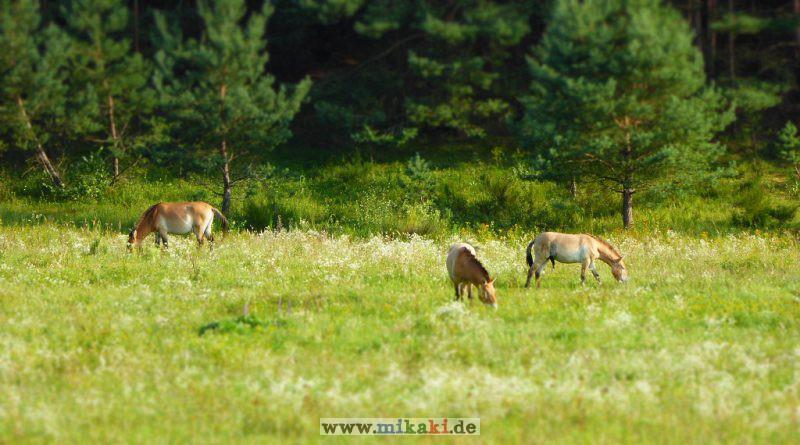 Die Urwildpferde (Przewalski-Pferde) in Erlangen